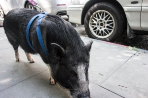 Handsome New York City pig on a leash